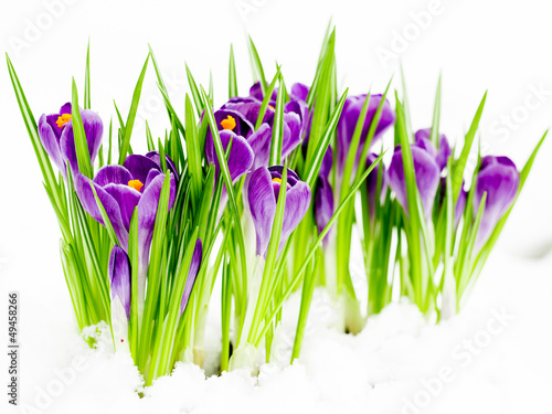 Wall Mural - Crocus flowers in snow