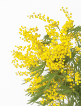 Wall Mural - Mimose in Festa