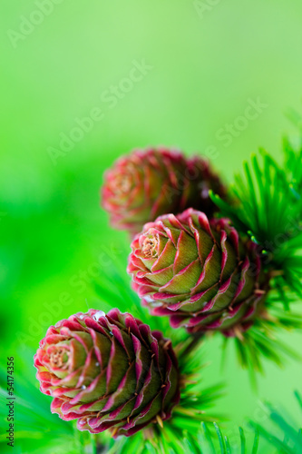 Wall Mural - Larch branch with cones