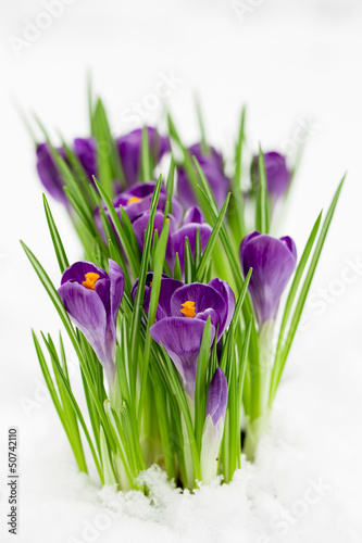 Wall Mural - Early spring - crocus flowers in snow
