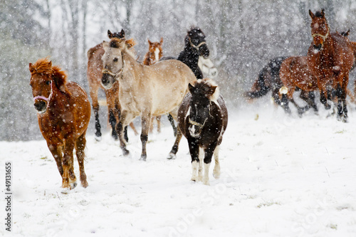 Wall Mural - Horses, winter - running herd of horses in the snow