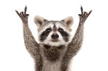Wall Mural - Portrait of a funny raccoon showing a rock gesture isolated on white background.JPG