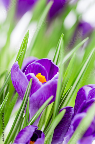 Wall Mural - Spring flowers, crocus flowers