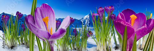 Wall Mural - Springtime in mountains - crocus flowers in snow