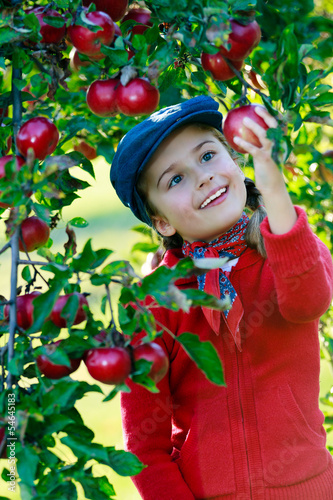 Wall Mural - Apple orchard - cute girl picking ripe apples